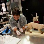 """Brian Aiello, le taxidermiste du Museum, restaure une pièce de chat domestique qui sera expoosée lors de la prochaine exposition """"Chiens, chats et compagnie"""" le 4 octobre prochain. ©KevinFiguier/JT"""