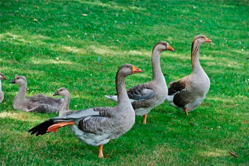 foie gras sans gavage