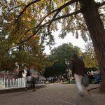 [La Question Existentielle] Pourquoi certains arbres de Toulouse sentent mauvais ?