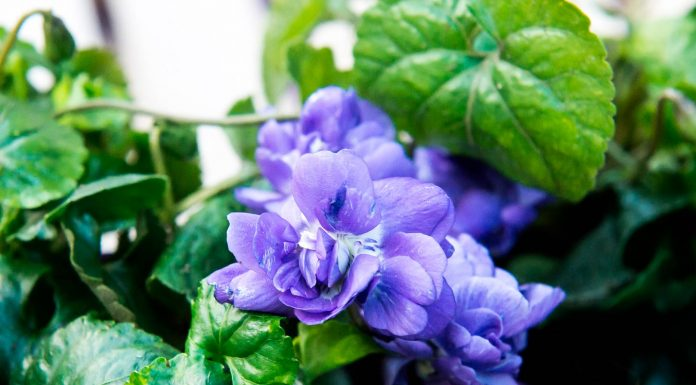 pourquoi la violette à toulouse