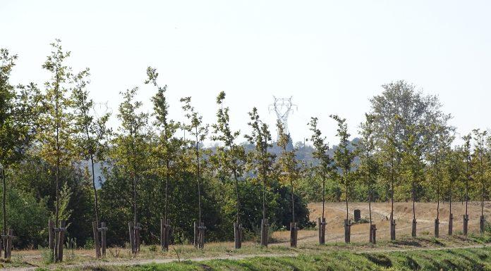Replantation des arbres du canal du midi