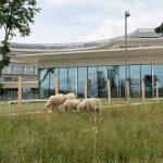 À Toulouse, des moutons entretiennent des espaces verts.
