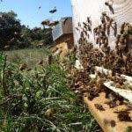 Les abeilles ne respirent plus la santé