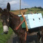 [DOSSIER] Des balades avec des ânes sur les coteaux du Volvestre