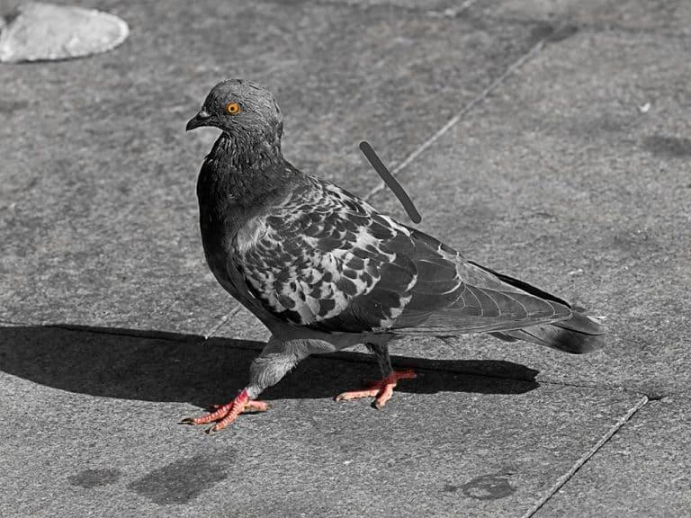 [#TFC] Quand Lidl attire les pigeons