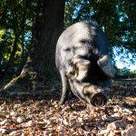 Le J'Go, ambassadeur du porc noir de Bigorre