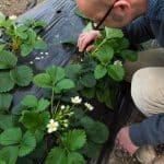 Biocontrôle : À Villasavary, Grégoire de la Roussière protège ses fraises