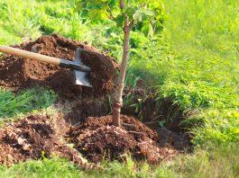 Planter arbre
