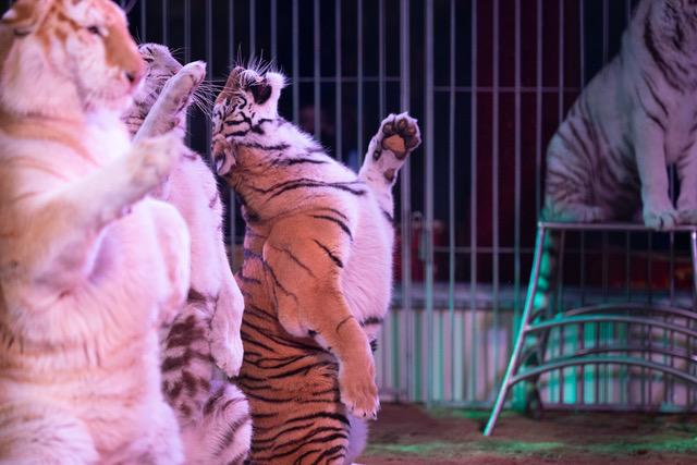 Cugnaux : 435ème ville pour des cirques sans animaux