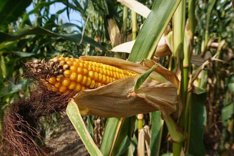 Naturellement Popcorn, un outil pour récompenser les agriculteurs qui fixent le carbone dans le sol