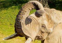 Pembe éléphant