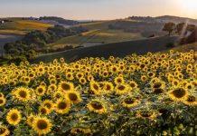 tournesols sorties Haute-Garonne