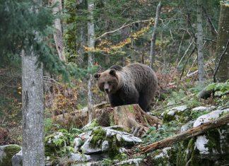 ours pyrénées