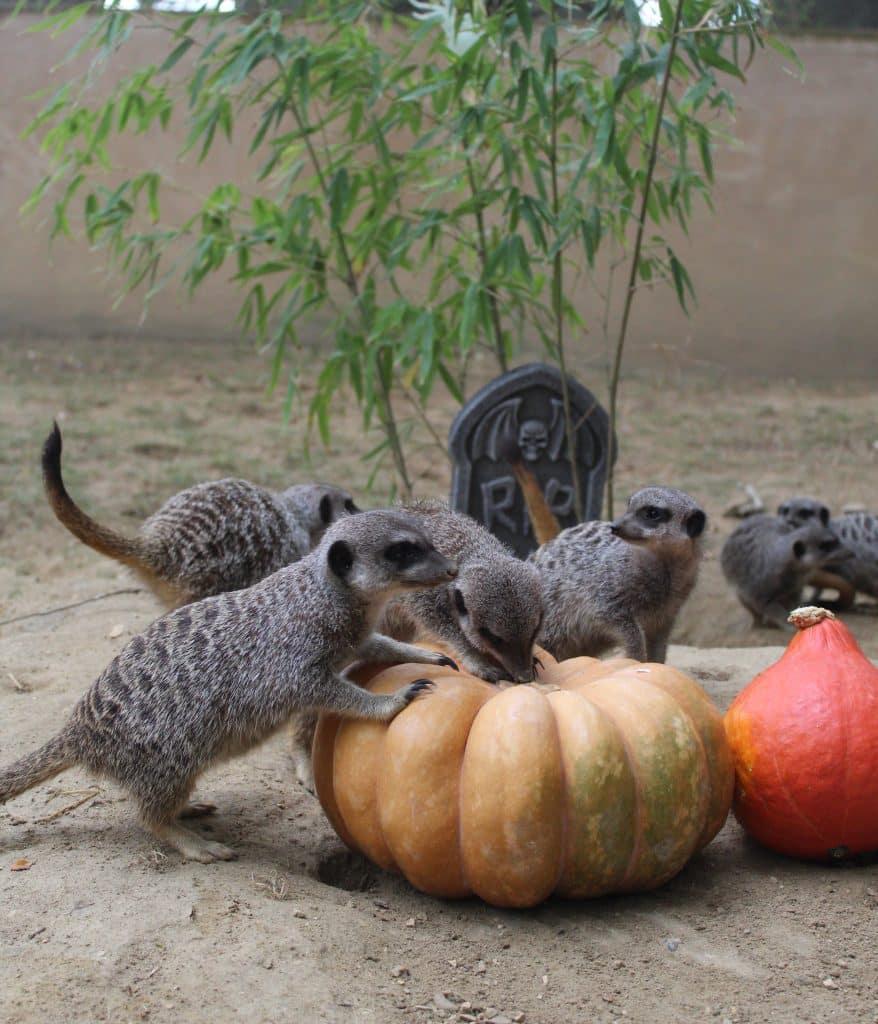 Un repas d'Halloween au Zoo de Plaisance-du-Touch© Zoo African Safari de Plaisance-du-Touch