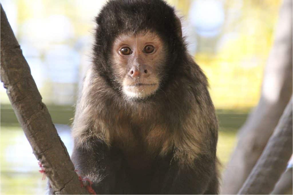 Capucin à poitrine jaune Zoo African Safari Plaisance biodiversité