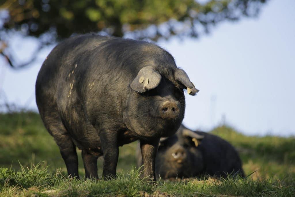 Dossier porc noir