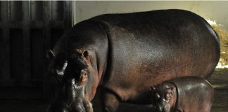 Naissance Hippopotame Zoo Plaisance