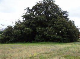 Un des plus beaux arbres d'Europe, un magniolia planté au XVIIIème siècle, se trouve à Toulouse ©Arbres et paysages d'Autan