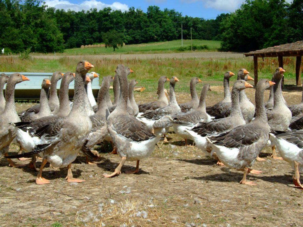 Les 2000 éleveurs de canards, pintades, cailles et pigeons d'Occitanie peuvent bénéficier d'une aide exceptionnelle, pour compenser les pertes dues à l'épidémie de Covid-19 ©CC0 Domaine public