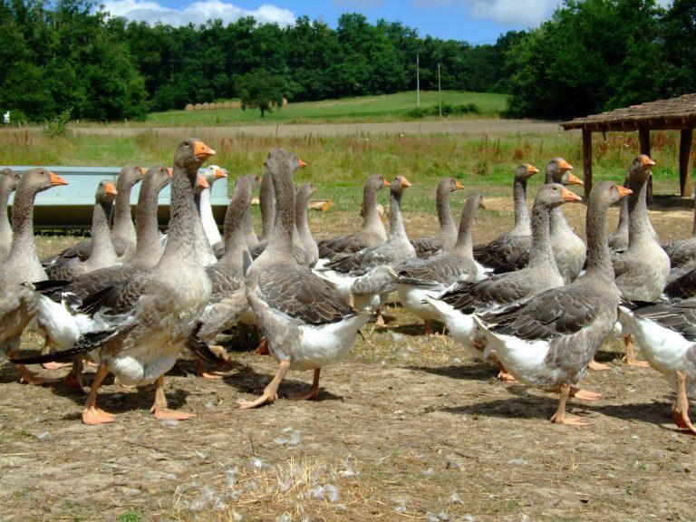 Covid 19 : une aide exceptionnelle pour les éleveurs de canards d'Occitanie