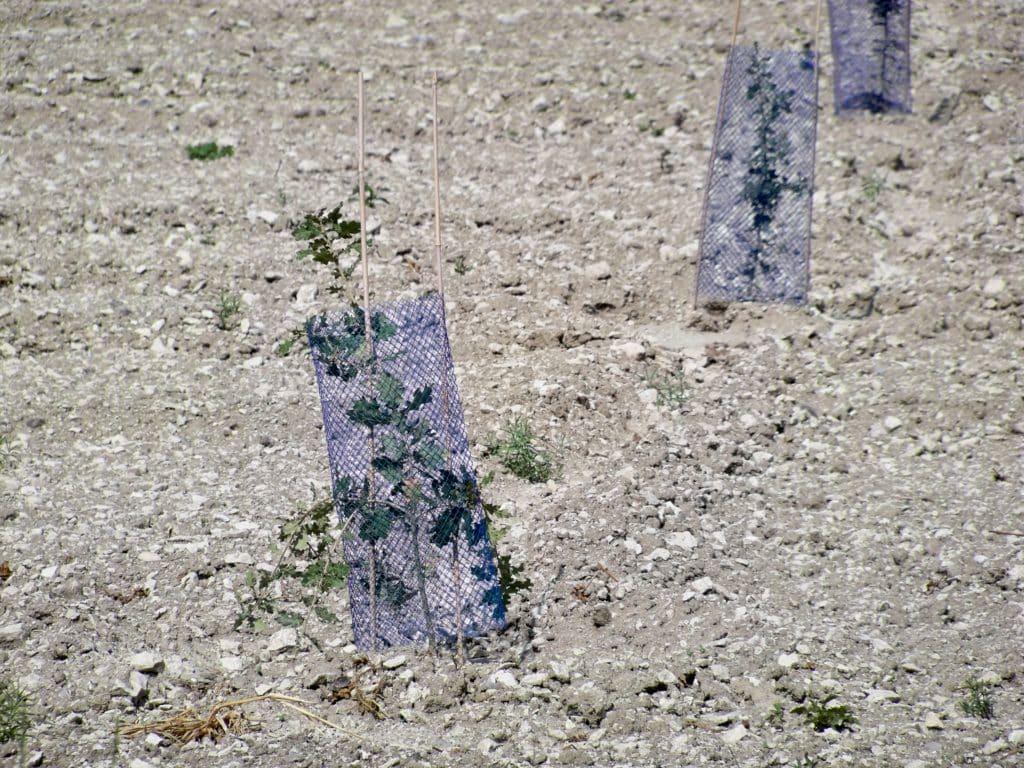 Velleron_-_plants_chêne_truffiers