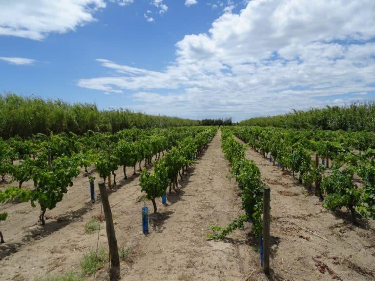 La renaissance des vieilles vignes