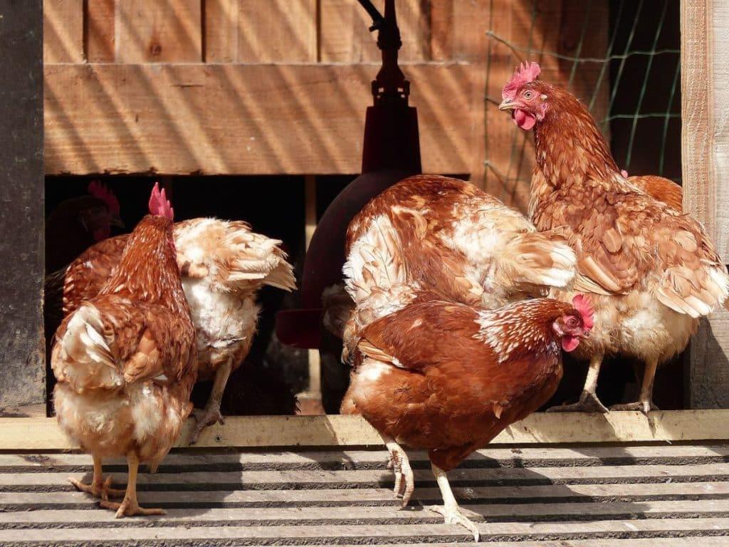 élevage poules grippe aviaire Haute-Garonne