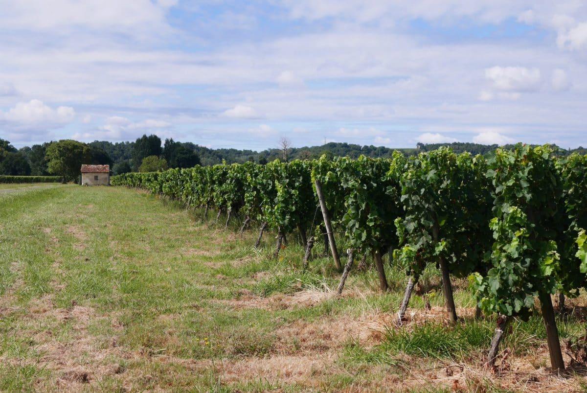 Les champs de vignes ont été fortement frappés par les gelées mais les récoltes se préparent dans la région. Crédits : ©Aurélie Rodrigo