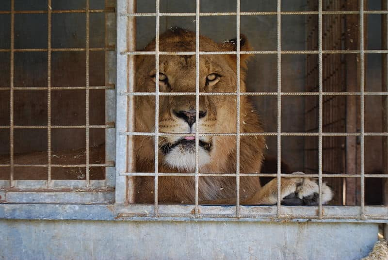 lion en cage cirque animaux sauvages