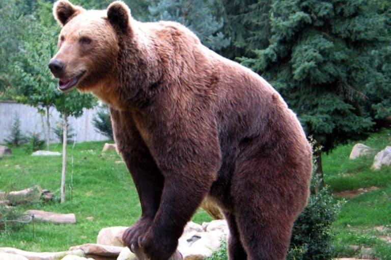 """Attaque d'ours : qu'est-ce que la phase 3 du protocole """"ours à problème"""" déclenchée par le préfet ?"""