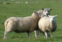 moutons brebis ferme