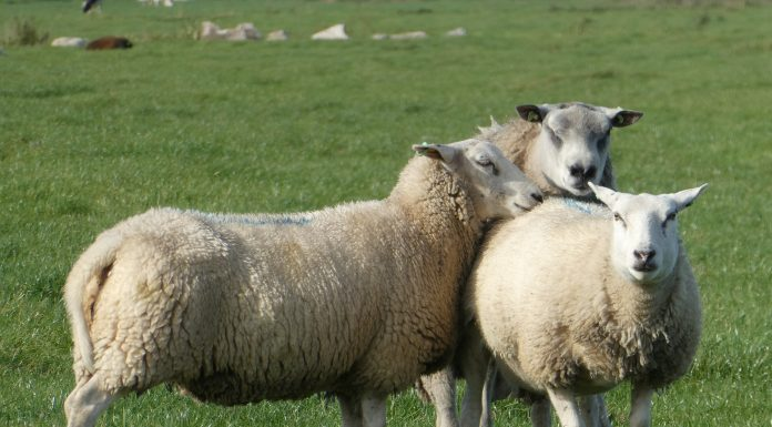 La préfecture de la Haute-Garonne autorise les éleveurs frappés par la sécheresse à utiliser leurs jachères pour alimenter leurs troupeauxmoutons brebis ferme
