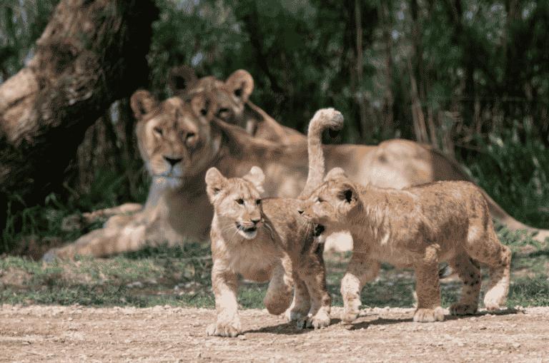 Aude : 2 adorables lionceaux sont nés pendant le confinement à la Réserve africaine de Sigean