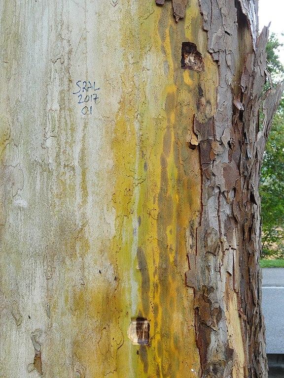 Toulouse. Le chancre coloré fait de nouveaux dégâts en centre-ville