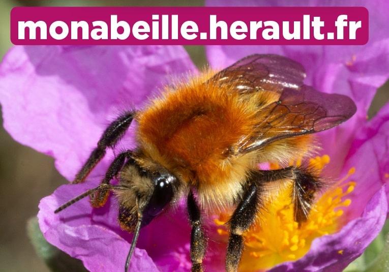 abeille hérault