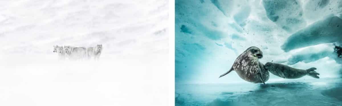 Toulouse accueille la première saison culturelle consacrée aux mondes de l'Antarctique et de l'Arctique intitulée 2021, l'Été Polaire @Laurent Ballesta et Vincent Munier