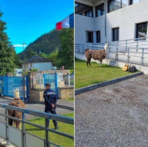 lama gendarmerie lozère