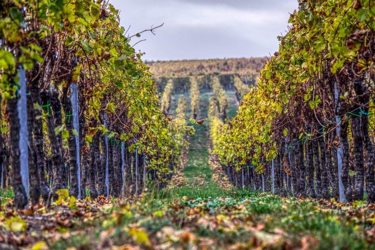 Des jeux ludiques dans le Sud-Ouest pour découvrir le terroir viticole. Licence Pixabay