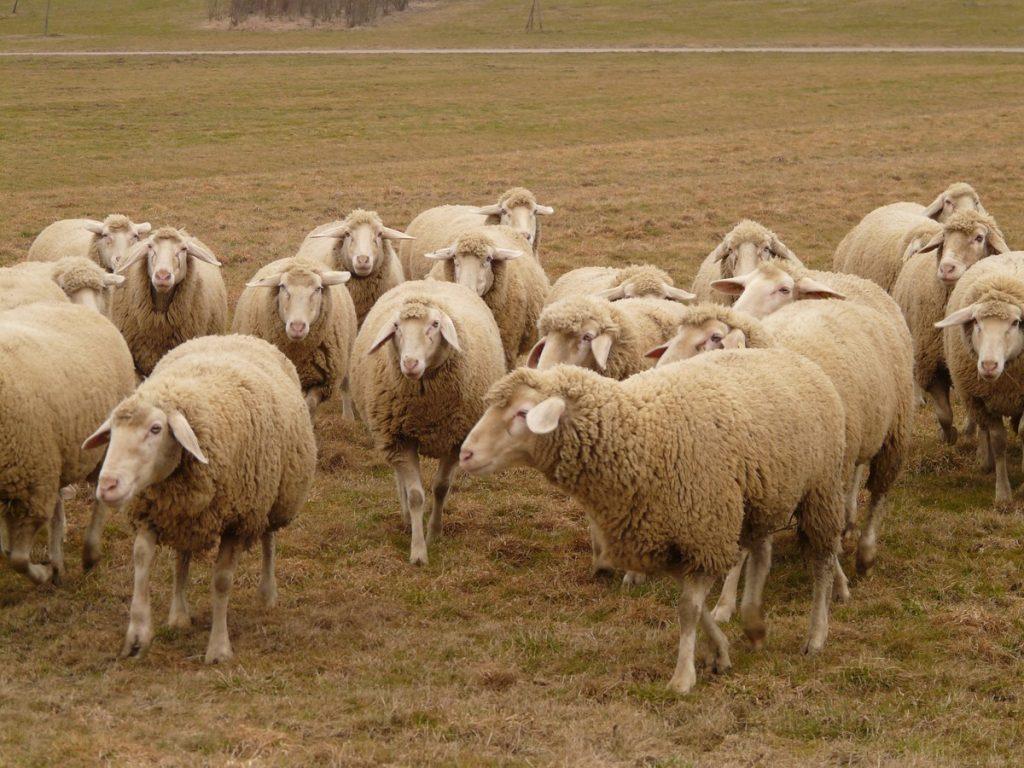 La préfète du Tarn-et-Garonne autorise les éleveurs touchés par la sécheresse à utiliser leurs jachères pour alimenter leurs troupeaux @CC0 Domaine Public Pxhere