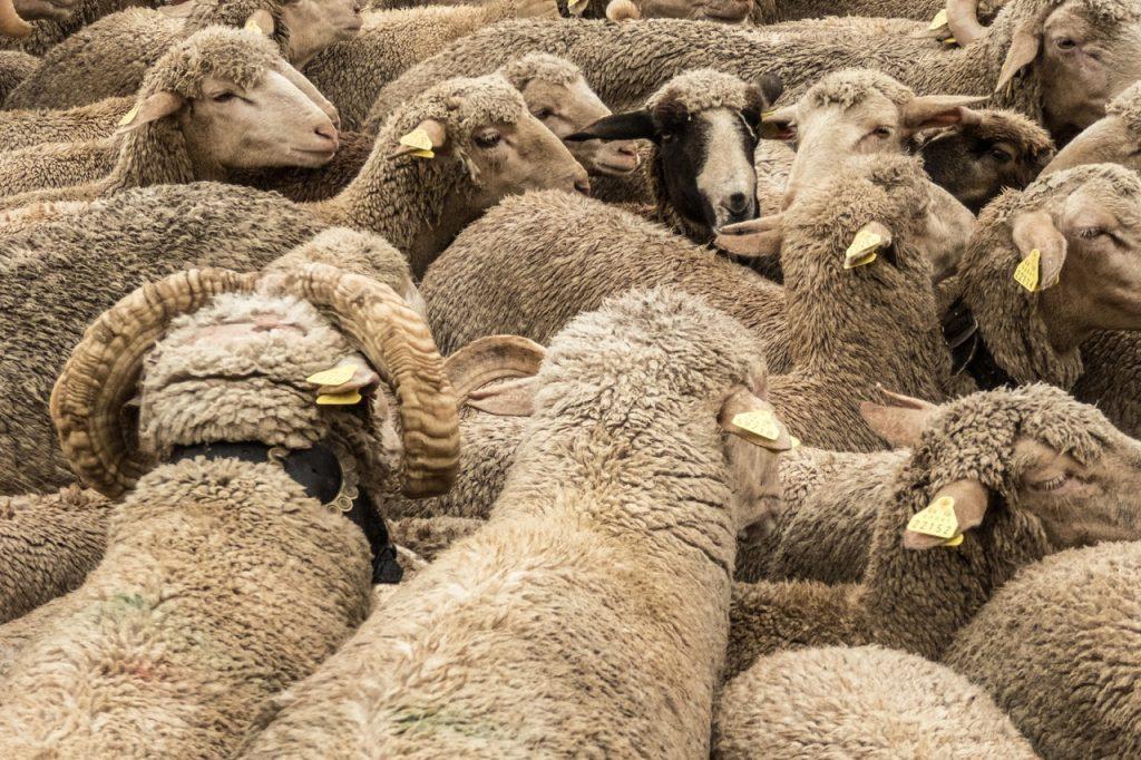 Les établissements autorisés à procéder à l'abattage rituel d'animaux dans le Gard, à l'occasion de la fête musulmane de l'Aïd-el-Kébir @CC0 Domaine Public Pxhere