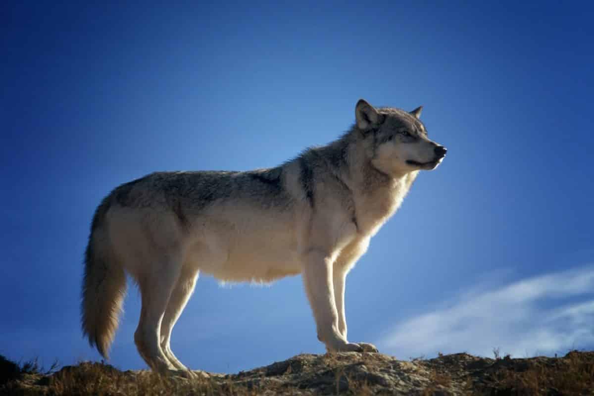 Lozère loup